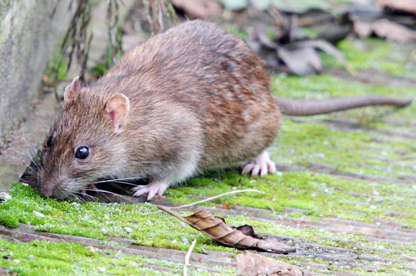 Žiurkių populiaciją būtina mažinti