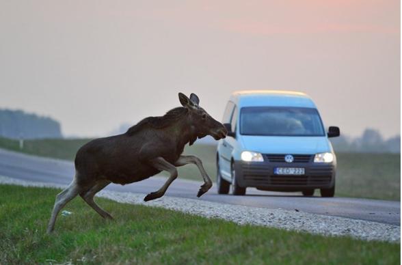 Būkite atsargūs: kelyje laukiniai žvėrys