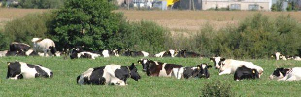 Karvidës Plikiuose. Karvës Gyvuliai