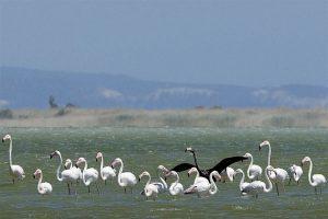 Į duskingąjį Larnakos ežerą žiemoti atskrenda flamingai.