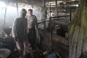 Kiaules ūkininko A. Norvilo tvarte suskaičiavo Gilučių seniūnė Kristina Vitartė