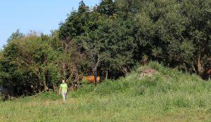 Jaunoji ūkininkė K. Stirnaitė savo augintines karves - žindenes nuo karščio apsaugoja aptvarus aptverdama ten, kur medžiai