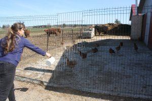 R. Marcinkevičienė vištaites maitina savo ūkyje išaugintais  ekologiškais grūdais