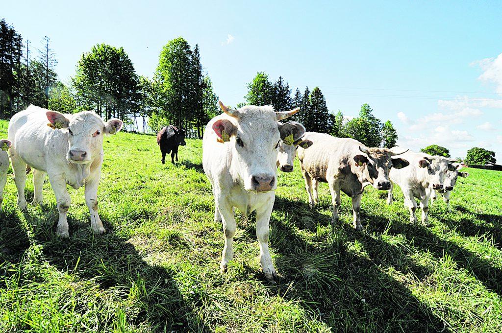 Paramos išmokos už gyvulius – didesnės