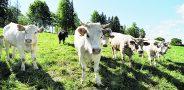 Vis daugiau ūkininkų vietoj pieninių karvių renkasi auginti mėsinius galvijus. Dariaus Šypalio nuotr.