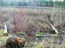 Lenktynės Kapuštėlio ežero pakrantėse: kas daugiau pasigriebs medžių – bebrai savo namų statybai ar žmogus savo būstui apšildyti