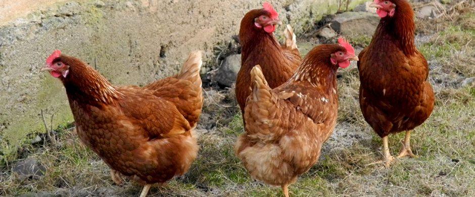 Paukščių augintojai raginami laikytis saugumo priemonių