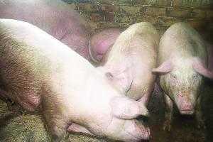 Užtikrinant biologinę saugą, kiaulės negali būti laikomos lauke